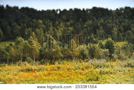 True tilt-shift autumn scenery of underbrush consisted of birch trees: meadow with native grasses and wildflowers in foreground and hill with forest in defocused background Altai mountains Russia