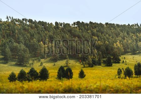True tilt-shift autumn landscape in Altai mountains of Russia: softwood forest on bent in background several fir trees in foreground on yellow fall meadows overgrown with native grasses and wildflowers