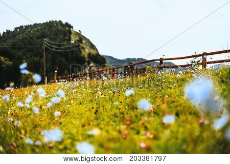 Beautiful soft blue wildflowers on autumn meadow of Altai montains with native grasses wooden fencing stretching to hills in distance sunny warm day. shallow depth of field