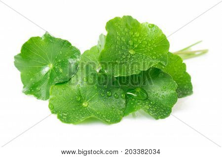 Closeup leaf of Gotu kola Asiatic pennywort Indian pennywort on white background herb and medical concept