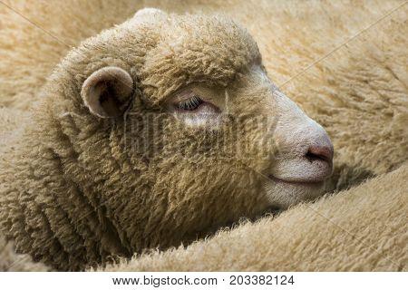 Sheep in a sheep herd of Cornish Sheep England.