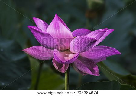 Lotus flowers blooming on the pond in summer. The lotus flower is one of the most remarkable creations of nature.