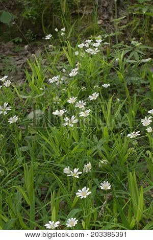 Greater stitchwort white flowers thickets. Vertical frame
