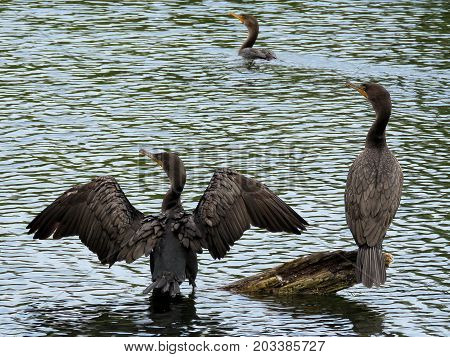 Three cormorants on the Lake Ontario in Humber Bay Park of Toronto Canada August 30 2017