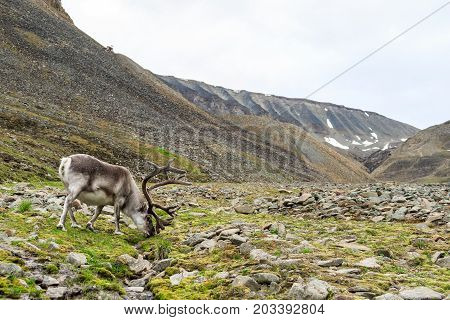 Svalbard reindeer male with antlers grazing on the tundra in Longyeardalen with mountains in the background, Longyearbyen Svalbard,