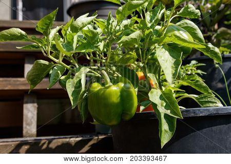 home grown bell pepper at Vancouver BC Canada