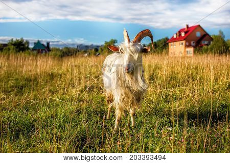 White goat male portrait in the farmyard