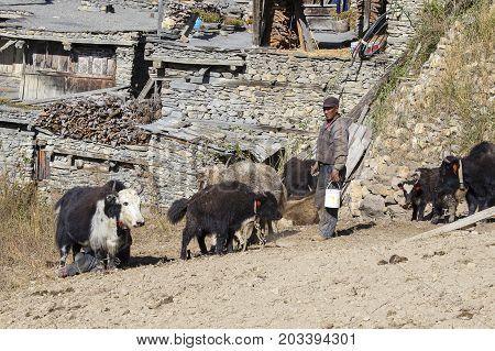 MANANG NEPAL - OCTOBER 17 2016 : Herd of yak and men in the village of Manang in Annapurna circuit Himalaya Nepal