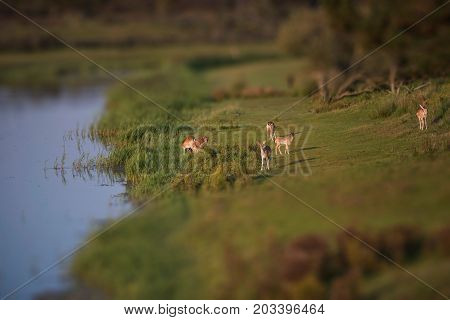 Group Of Fallow Deer (dama Dama) In Meadow At Waterfront.