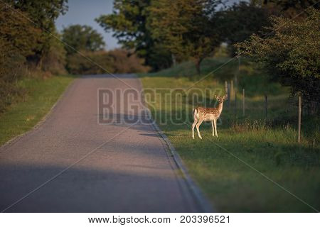 Fallow Deer Doe (dama Dama) Standing Between Road And Fence In Nature Reserve.