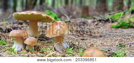 Boletus edulis is edible mushroom. Pporcini on moss in forest. Healthy and delicates food.