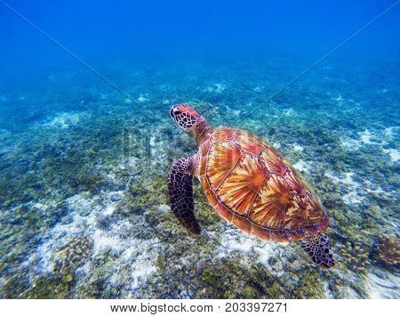 Sea turtle underwater closeup. Green sea turtle closeup. Endangered species of tropical coral reef. Tortoise photo. Tropic seashore ecosystem. Summer travel seaside activity. Snorkeling with seaturtle