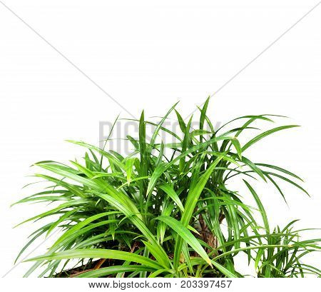 Pandan in plant isolate on white background has clipping paths and copy space.