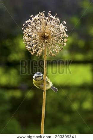 Blue Tit  A Blue Tit perching on a Drum Stick Allium. A common British garden bird