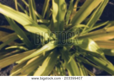 Tropical foliage plant with green and yellow leaf. Blurred greenery background photo. Exotic plant outdoor under sun. Vintage blurry card with tropical greenery. Exotic garden banner. Green leaf decor