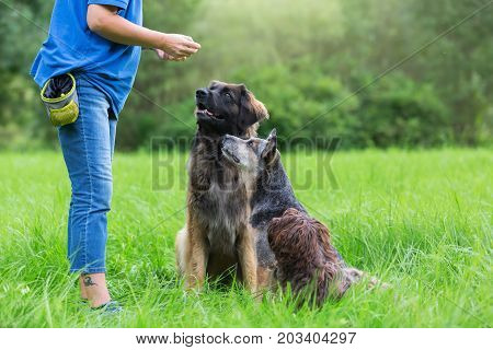 Three Dogs Waiting In Front Of A Woman