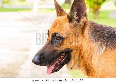 Young shepherd dog photo. Young german dog on walk in park. German shepherd in sunny hot summer day. Domestic animal portrait. Friendly pet with loyal character. Protective animal. German dog outdoors