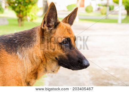 Shepherd dog head photo. Young german dog on walk in park. German shepherd in sunny hot summer day. Domestic animal portrait. Friendly pet with loyal character. Protective animal. German dog outdoors