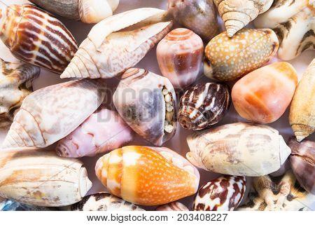 Vibrant sea shells background. Micro shells closeup. Sea shell banner template. Tropical island seashore finding. Exotic island beach texture. Warm sea nature detail. Marine shell cover top view.