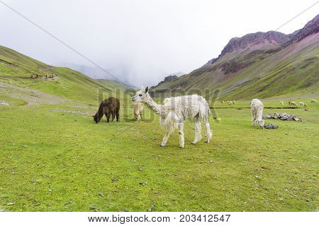some alpaca on the rainbow mountain with storm on the back