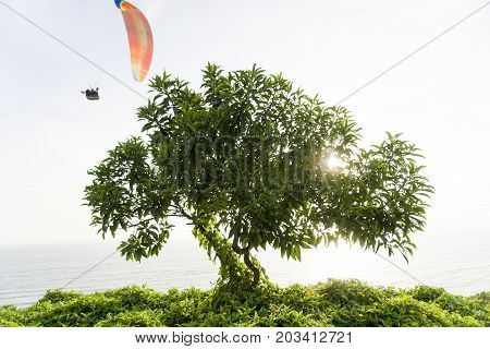 A Nice Tree with Paragliding in Miraflores, Peru.