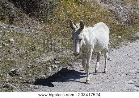 White donkey runs along a mountain road in Nepal