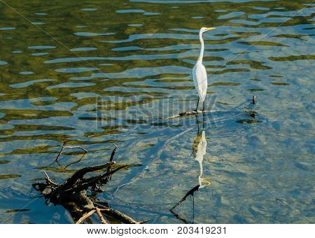White Egret Standing On A Piece Of Drift Wood