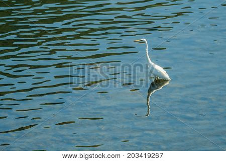 White Egret Standing In Shallow Water