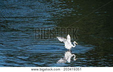 White Egret Landing In A Lake Of Blue Water