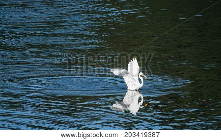 White Egret Sitting In A Lake Of Blue Water