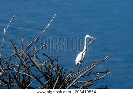 Great White Egrets Standing On A Branch
