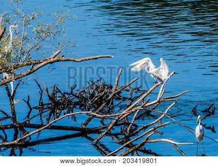 Great White Egret Landing On Branch Of Drift Wood