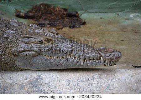American crocodile is a species of crocodilian found in the Neotropics