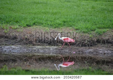 roseate spoonbill is a wading bird often confused for a flamingo because of its coloring