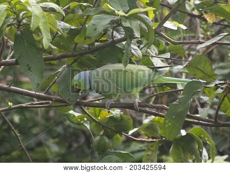 green parrot preening feather sitting on tree