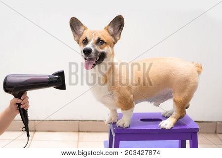 Woman using the hair dry drying wet dog