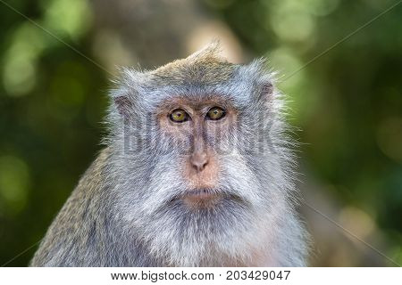 Portrait of a monkey who looks at the camera at sacred monkey forest in Ubud Bali Indonesia. Close up