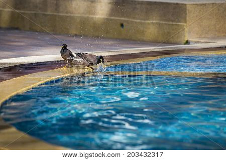 Birds swimming in the pool. Portrait of a hill mynah Gracula religiosa bird the most intelligent bird in the world. Close up. Thailand