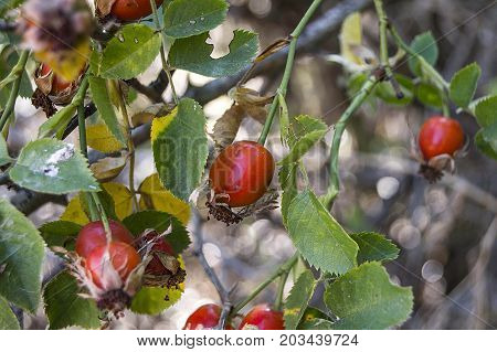 rosehip and ripe fruits, pictures of rosehip plants, c vitamin store rosehip fruit, organic rosehip tree
