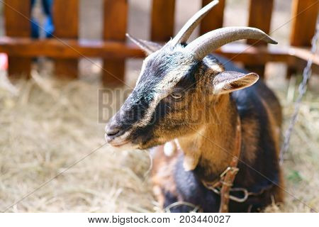 Portrait of a brown goat in barn