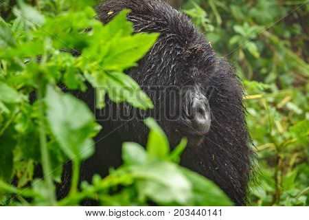 Profile of mountain gorilla sit and thinking in the forest