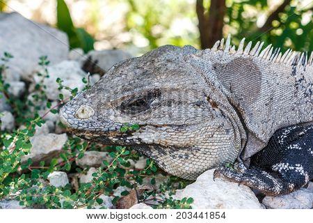 Iguana At The Tulum Archaeological Site, Quintana Roo, Mexico.