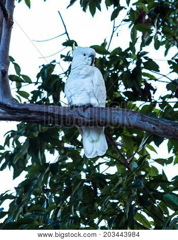 Australian native sulphur crested cockatoo parrot in tree