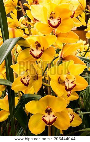 Bright yellow cymbidium orchid flowers against green foliage