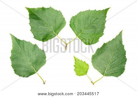 Set of leaves: birch (isolated close up)