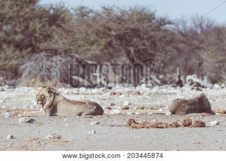 Two Young Male Lazy Lions Lying Down On The Ground. Zebra (defocused) Walking Undisturbed In The Bac