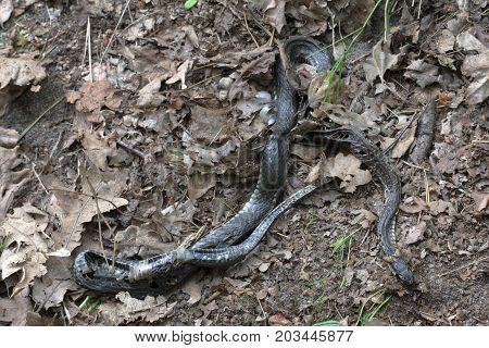 A grass snake among the fallen leaves