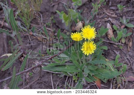Hieracium Pilosella. Yellow Forest Flower With Long Stem And Hairy Leaves, Grows At The Base Of The