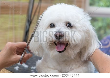 Closeup view of groomed smiling cute white Bolognese dog. The dog is looking at the camera.
