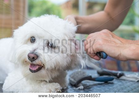 Closeup view of combing ears of the white Bolognese dog. The dog is shyly looking at the camera.
